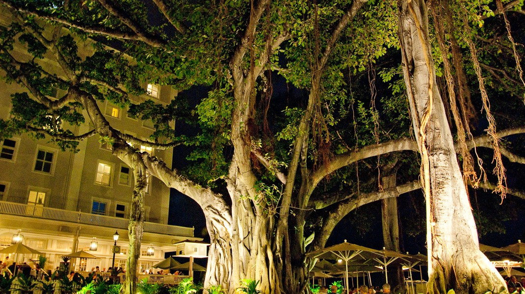 The Magnificent Banyan Of Waikiki