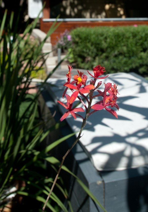 red coral wild orchids in our backyard garden