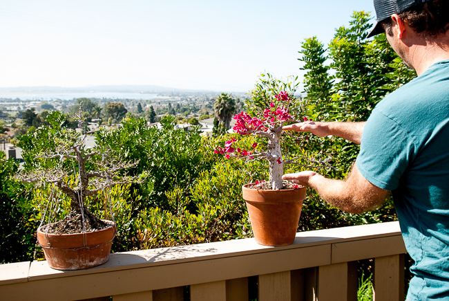 """Finally, you can make a bonsai by grafting it, cutting a little piece off an established tree and sticking it in the dirt. Barry's bougainvillea was the result of grafting. """"Normally people don't use bougainvillea for bonsai,"""" he says. """"This one was grown from a cutting from a much taller tree at a nursery. None were rooted, they were just pieces of wood in a pot."""""""