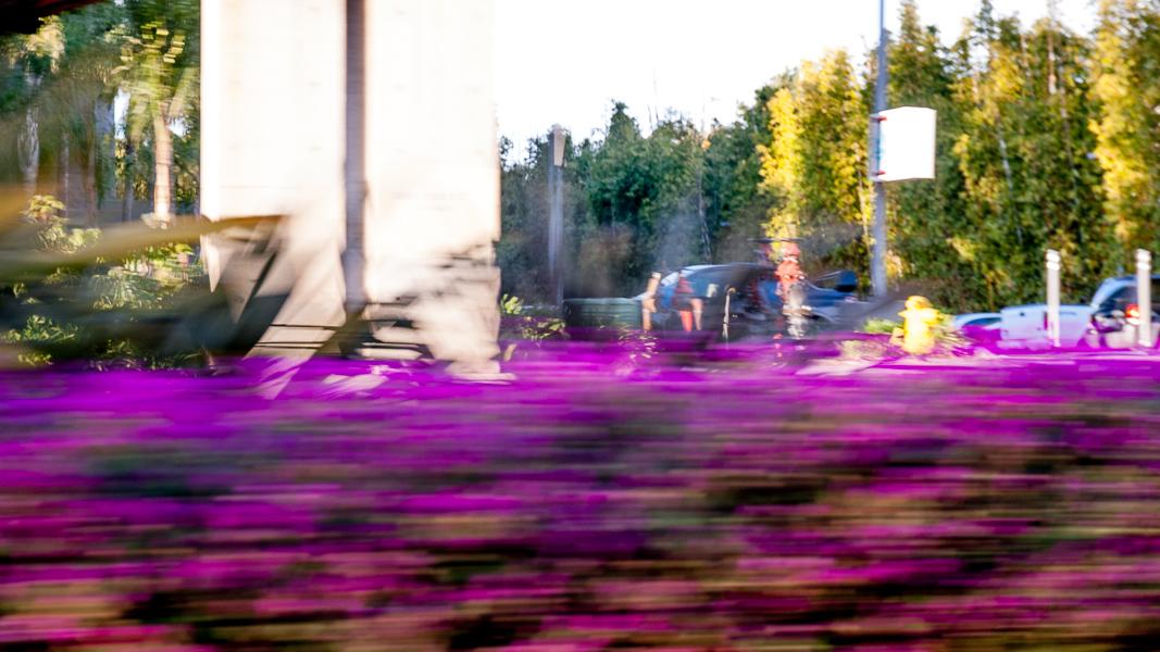 Delosperma-cooperi-purple-ice-plant_RMB7094