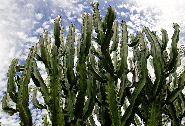 Euphorbia-ingens-DSC_0160