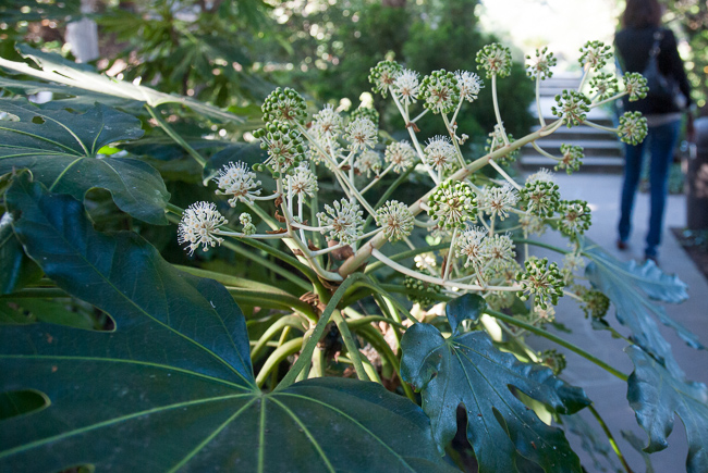 Fatsia japonica-the Japanese aralia_RMB4156-ryanbenoitphoto-for-thehorticult