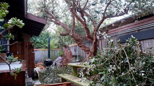 Guava-tree-trimming_RMB5138
