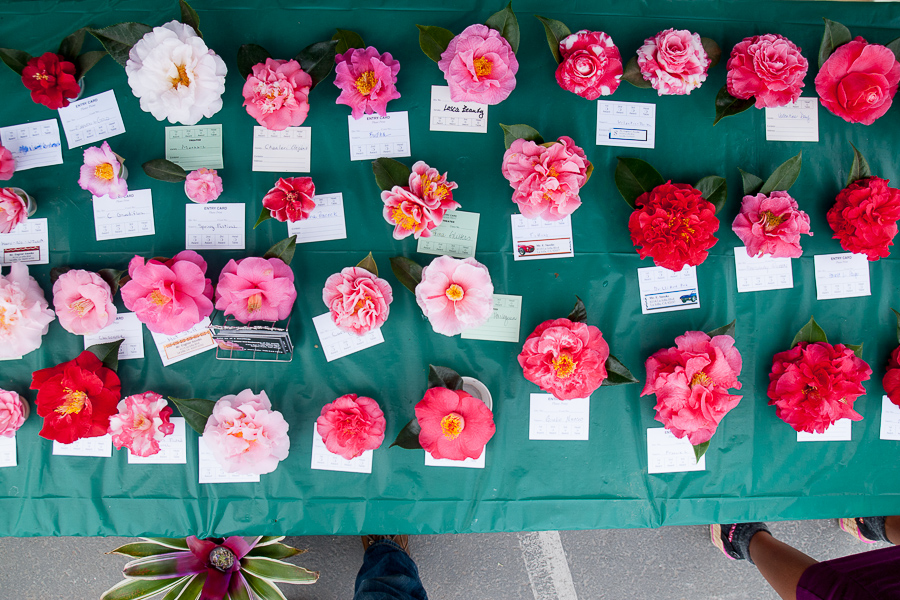 At the San Diego Camellia Society, a few dozen blooms stopped us cold, including some spotted, asymmetrical lovelies.