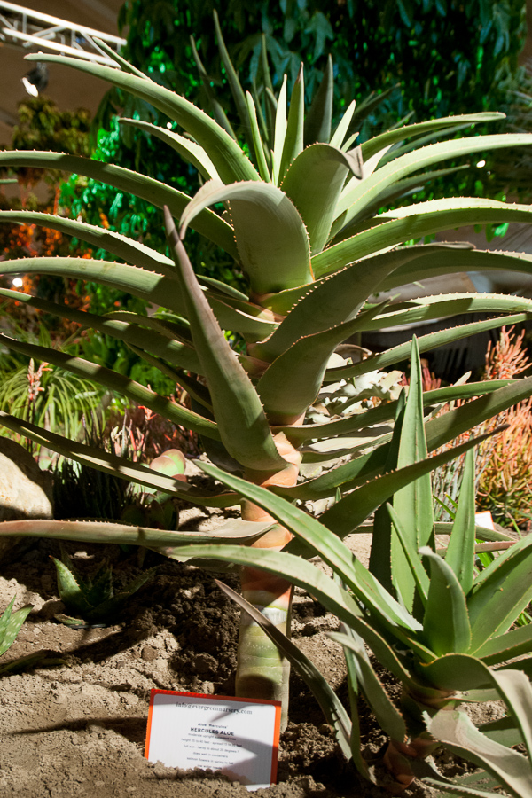 The Hercules aloe flexes for the camera.
