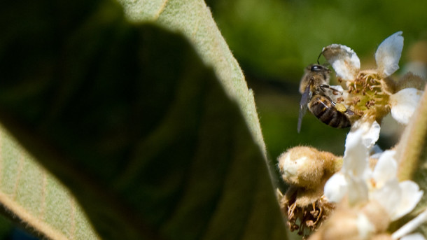 Bee on loquat