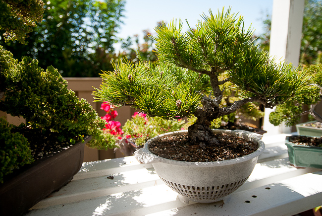 """""""Most of the junipers and pine can take full sunlight. As long as they have a reasonable amount of water, as bright as you can get."""" He waters his trees twice a day in the summer, once every two days in the winter. In the earliest stages, a bonsai-to-be is grown in a large pot because """"you're pushing the tree to grow really, really fast, grow like crazy until you get it to where you want it. Then you slow it down to almost stop it."""""""
