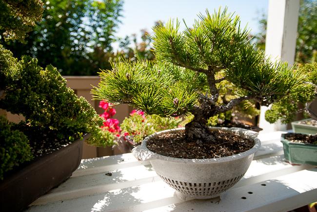The Community Garden: Pinus thunbergii (Japanese Black ...