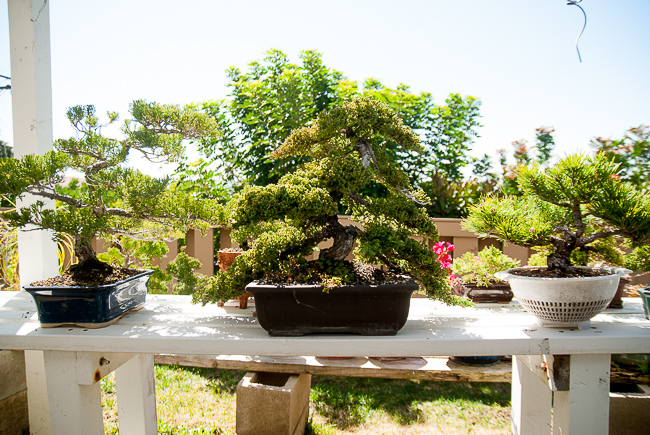 Bonsai shows are huge in Japan. One of biggest-ever sales was to a bigwig from Sony, who bought a Japanese black pine (native to the region in which he was born) for $1 million.