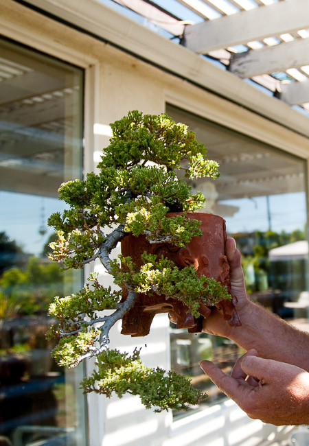 """Styles of bonsai include """"formal upright,"""" """"informal upright,"""" """"slanted,"""" """"broom style"""" and """"cascade,"""" mean to resemble a waterfall coming down a mountaintop — as seen in the juniper above. Its apex is actually below its roots."""