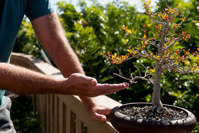 """This flowering pomegranate bonsai actually produced one lone fruit, about the size of a jumbo egg. """"The flowers get smaller and smaller as you keep cutting them off. In Japan when you show a fruiting tree — because the fruit will sap so much strength from the tree — what they do is let the fruit grow a little bit and they cut the fruit off. Then they'll take a tiny wire and wire it back onto the branch."""""""