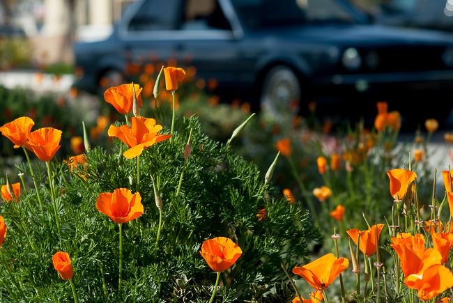 eschscholzia-californica-california-poppy-golden-poppy-california-sunlight-cup-of-gold-8013