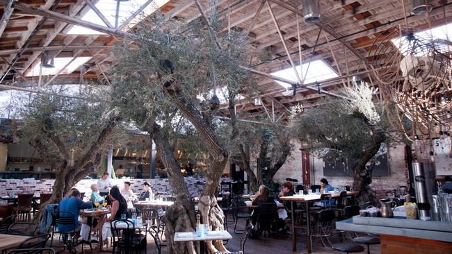 olea-europaea-olive-tree-Herringbone_RMB4341