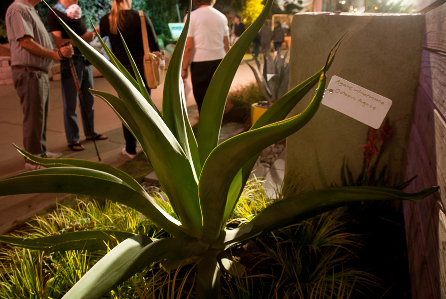A bewitching octopus agave.