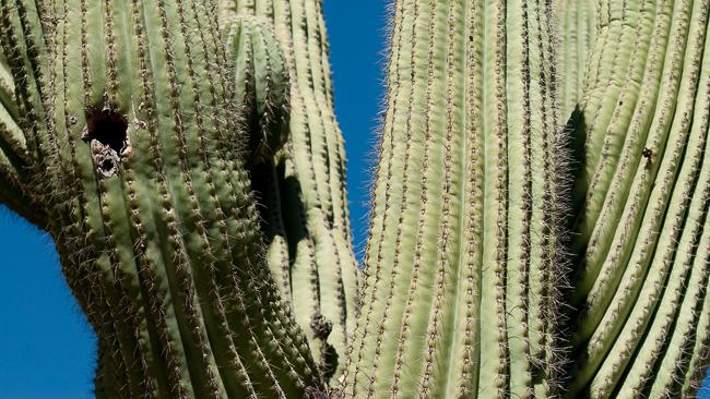 Carnegiea-gigantea-saguaro-0356