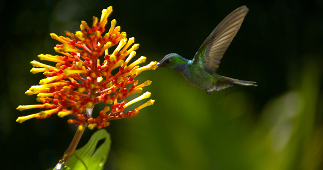 """The hummingbirds were shot in Panama. Schwartzberg says their fierce, """"kung-fu"""" altercations were one of his more surprising discoveries during shooting."""