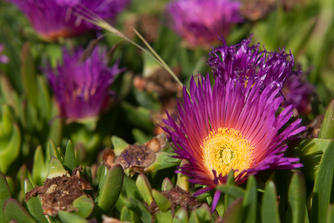 Ice plant / sour fig
