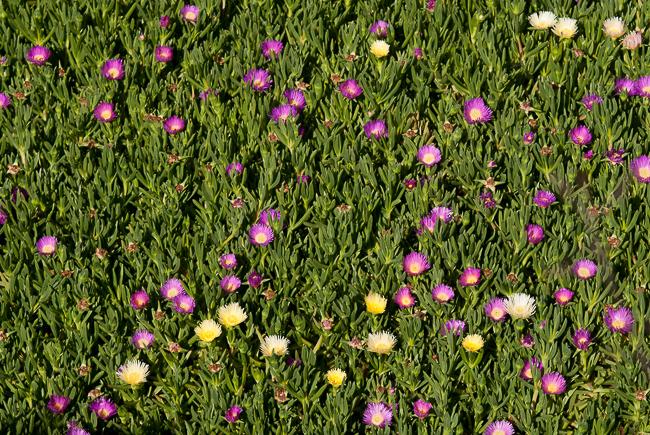 carpobrotus-edulis-sour-fig-highway-ice-plant-pigface-hottentot-fig-9631