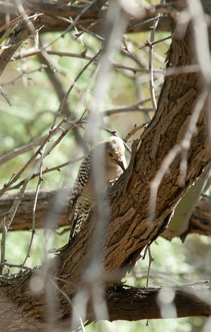 The gila woodpecker takes a break from the saguaro.