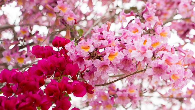 tabebuia-impetiginosa-poui-tree-pink-ipe-pink-lapacho-facebook-ryanbenoitphoto-thehorticult-RMB_0745 (2)