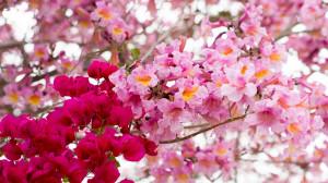 tabebuia-impetiginosa-poui-tree-pink-ipe-pink-lapacho-ryanbenoitphoto-thehorticult-RMB_0745