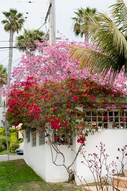 Poui tree aka pink lapacho.