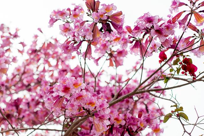 tabebuia-impetiginosa-poui-tree-pink-ipe-pink-lapachoRMB_0748-ryanbenoitphoto-thehorticult