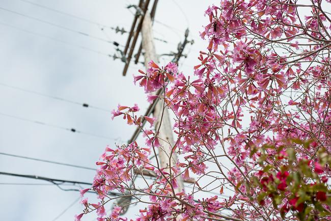 tabebuia-impetiginosa-poui-tree-pink-ipe-pink-lapachoRMB_0749-ryanbenoitphoto-thehorticult