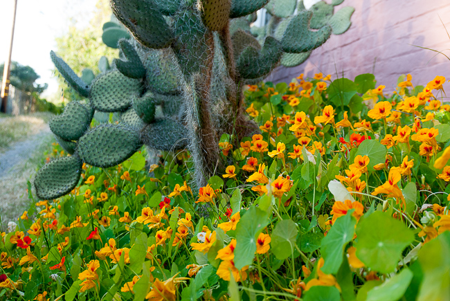 tropaeolum-majus-nasturtium-indian-cress-monks-cress-thehorticult-9790