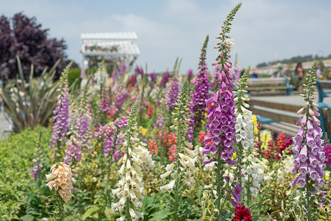 carlsbad-flower-fields-RMB_1079