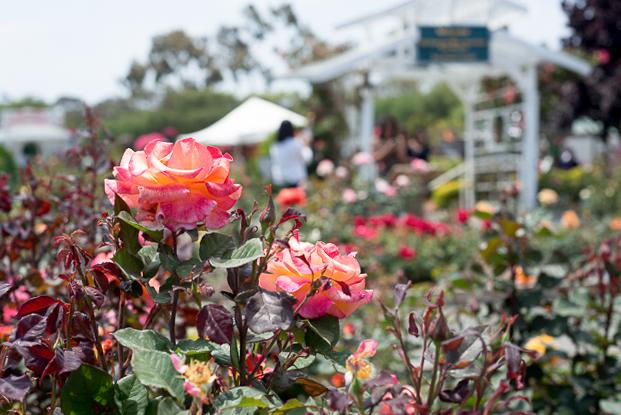 carlsbad-flower-fields-RMB_1147