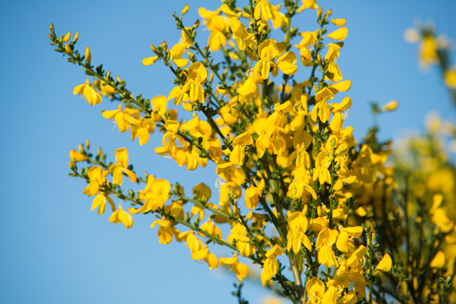 Snap Crackle And Pop Scotch Broom Sweeps Seattle The Horticult