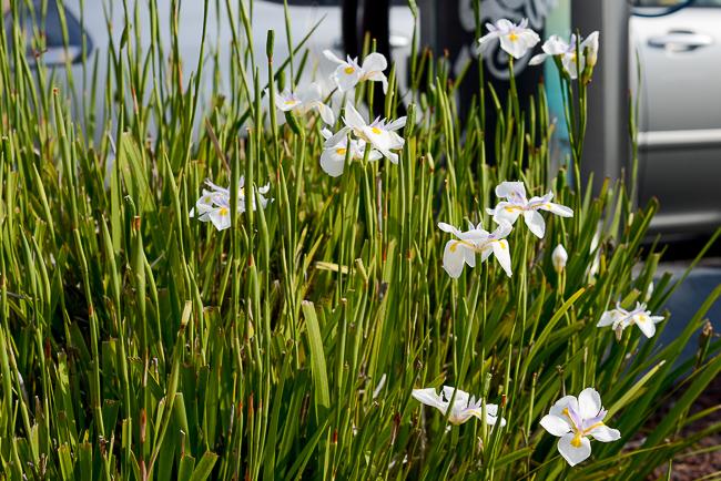The Community Garden Dietes Iridioides African Iris