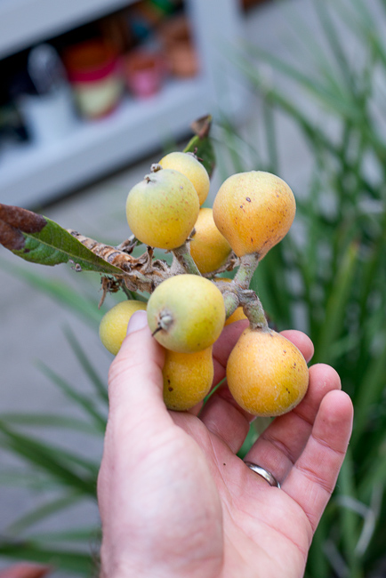 The loquats in our yard.