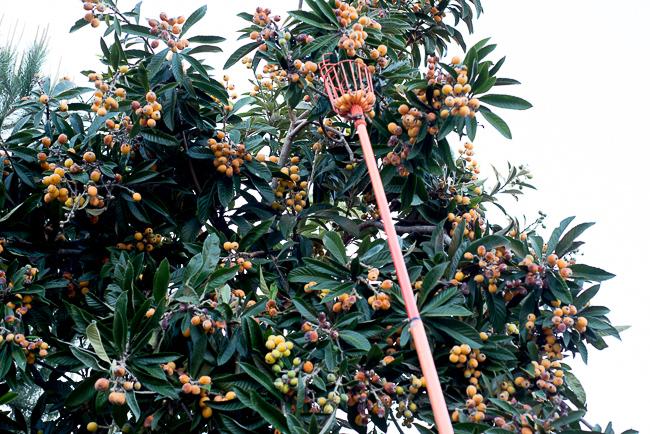 eriobotrya-japonica-loquat-treeRMB_0828-ryanbenoitphoto-thehorticult