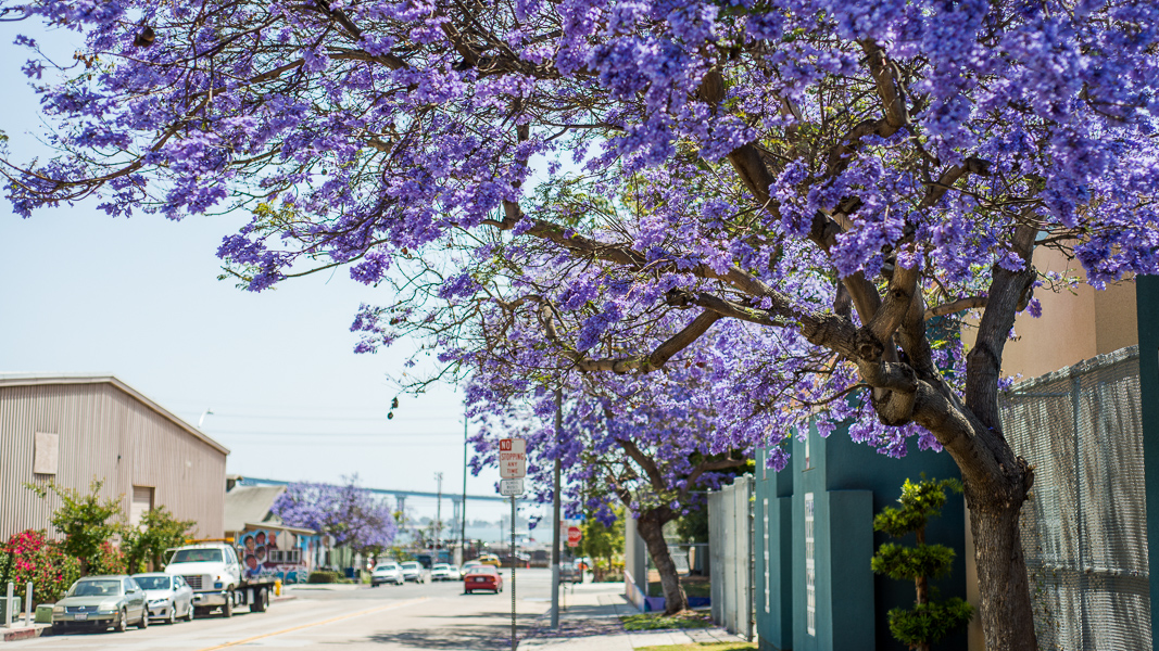 Purple haze jacaranda fever hits san diego the horticult purple haze jacaranda fever hits san diego mightylinksfo