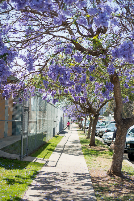 Preferred Purple Haze: Jacaranda Fever Hits San Diego | The Horticult MT45