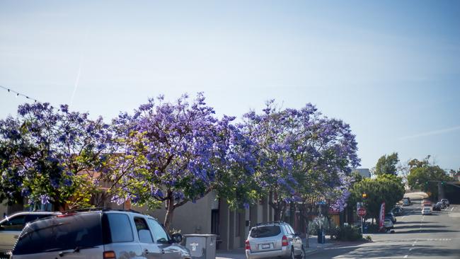 jacaranda-mimosifolia-blue-the-fern-tree-ryanbenoitphoto-thehorticult-RMB_3093