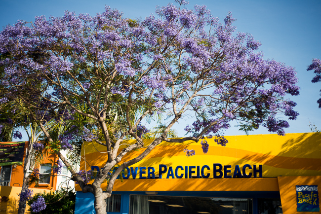 Brand-new Purple Haze: Jacaranda Fever Hits San Diego | The Horticult XF66