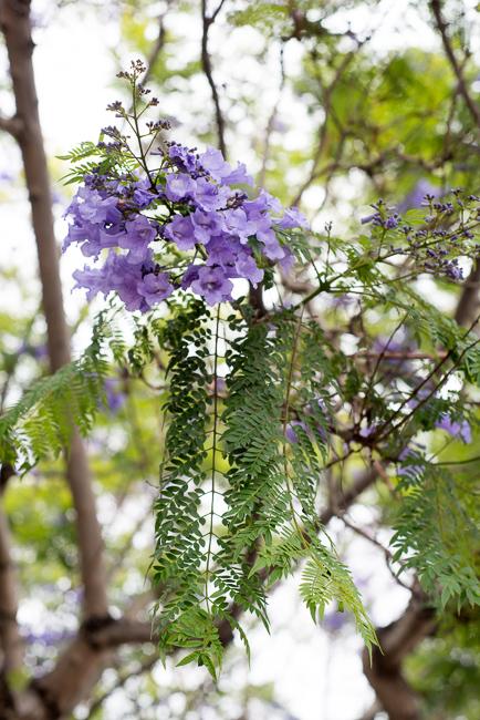 Purple Haze Jacaranda Fever Hits San Diego The Horticult