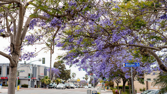 jacaranda-mimosifolia-blue-the-fern-tree-ryanbenoitphoto-thehorticult-RMB_3143