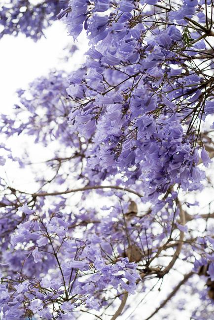 jacaranda-mimosifolia-blue-the-fern-tree-ryanbenoitphoto-thehorticult-RMB_3158