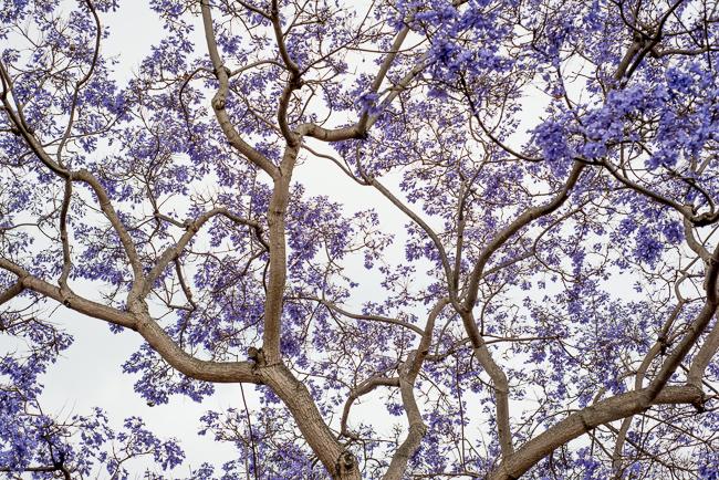jacaranda-mimosifolia-blue-the-fern-tree-ryanbenoitphoto-thehorticult-RMB_3159