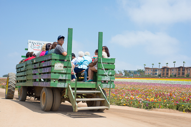ranunculus-carlsbad-flower-fields-RMB_0944