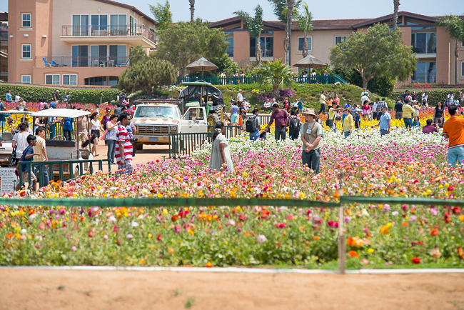 ranunculus-carlsbad-flower-fields-RMB_0947