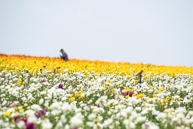ranunculus-carlsbad-flower-fields-RMB_1037