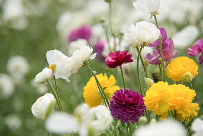 ranunculus-carlsbad-flower-fields-RMB_1045