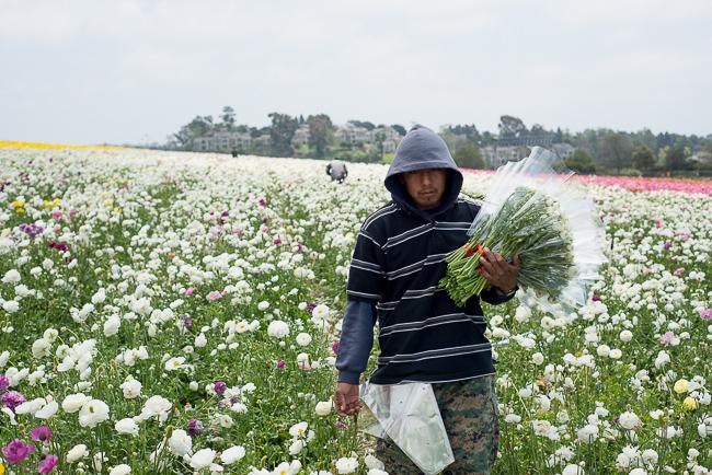 ranunculus-carlsbad-flower-fields-RMB_1055