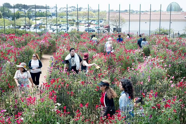 sweet-pea-maze-flower-fields-carlsbad-sweet-pea-mazecarlsbad-flower-fields-RMB_1141