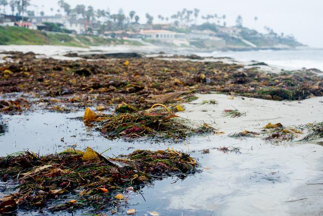 Looking south at Windansea Beach; seaweed is abundant.